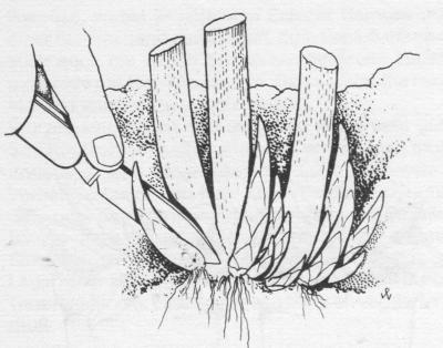 wer bereits ber mutterpflanzen verf gt kann artischocken auch vegetativ durch stecklinge. Black Bedroom Furniture Sets. Home Design Ideas