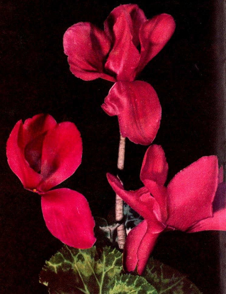 Alpenveilchen – Cyclamen persicum