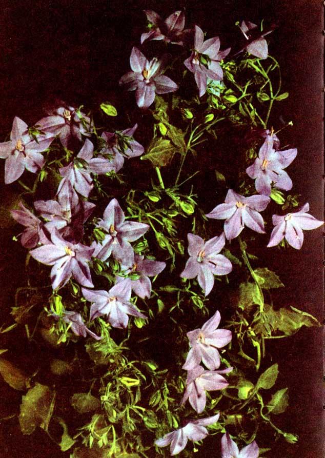 Ampelglockenblume – Campanula isophylla