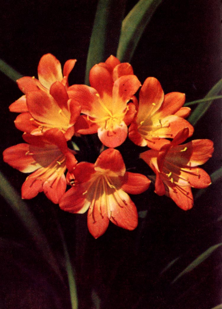 Clivie; Riemenblatt – Clivia miniata