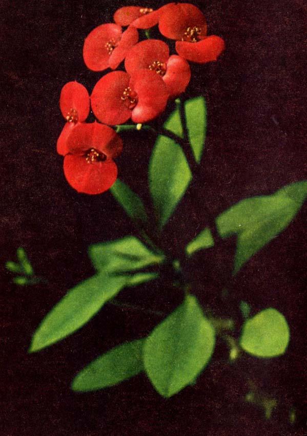 Glänzende Wolfsmilch; Christusdorn – Euphorbia splendens
