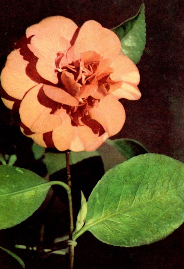Kamelie (Kamellie) – Camellia japonica