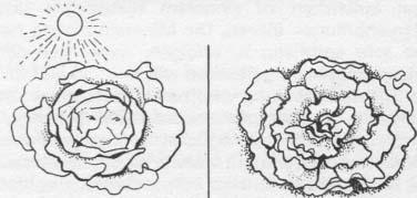 Kopfsalat läßt sich unter unseren klimatischen Bedingungen in jedem Garten anbauen