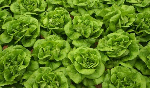 Nach der Pflanzung ist gut zu wässern und bis zum Anwachsen nicht oder nur sparsam zu lüften
